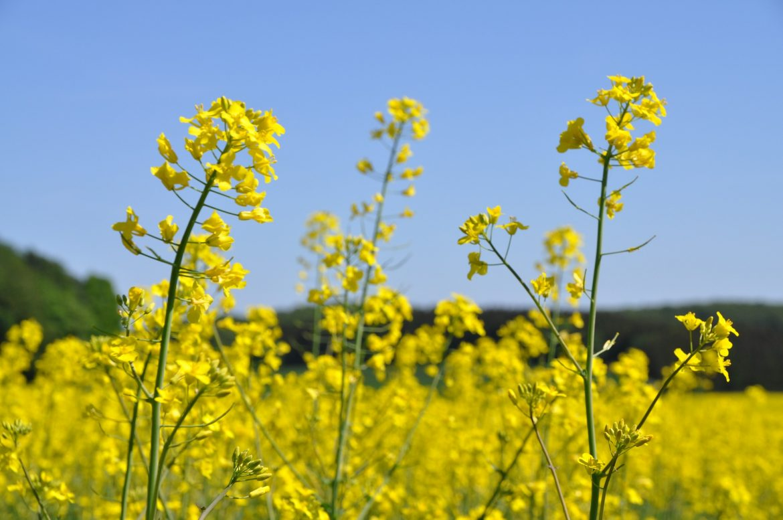 oilseed-rape-3400088_1920.jpg